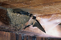 adult feeding young in nest in Barn, Oberaegeri, Switzerland, July 1997