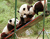 Male panda Yang Yang (top) bites female panda Lun Lun as a third panda looks on at the Chengdu Panda Base of Giant Panda Breeding. ..The two 1-1/2 year-old pandas, conceived by artificial insemination, were loaned to Zoo Atlanta in 1999 for at least ten years.