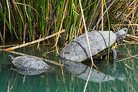 Two Red-eared Sliders, Trachemys scripta elegans, in a lake in the Riparian Preserve at Water Ranch, Gilbert, Arizona
