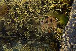 Gloomy Octopus (Octopus tetricus) in tidepool, Murramarang Beach, Murramarang National Park, New South Wales, Australia
