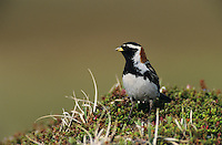 Lapland Longspur, Calcarius lapponicus, male, Gednjehogda, Norway, June 2001