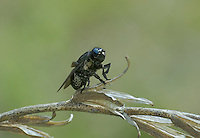 341380001 a wild bot fly cuterebra arizonae perches on a dead plant stem in wet canyon graham county arizona