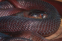 414383001 a captive zoo animal specimen of a red spitting cobra naja pallida lays coiled in its enclosure