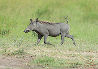 Warthog (Phacochoerus africanus) on the run, Masai Mara, Kenya