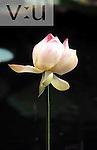 Lotus Flower (Nelumbo nucifera) Trinidad, West Indies