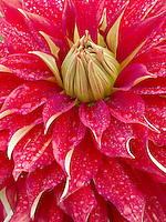 Dahlia Nick Sr.) close up. Oregon