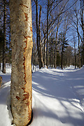 Basal scar on birch tree along a skid road in Unit (or zone) 47 of the Kanc 7 Timber harvest project along the Kancamagus Scenic Byway (route 112) in the White Mountains, New Hampshire USA during the winter months.