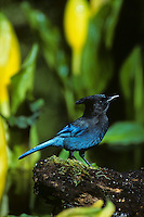 Steller's Jay (Cyanocitta stelleri) among skunk cabbage.   Pacific Northwest. Early spring.