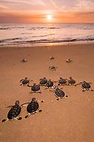 Australian flatback sea turtle hatchlings, Natator depressus (c-r), endemic to Australian continental shelf, crawl down nesting beach to ocean at sunset, Crab Island, Torres Strait, Queensland, Australia (de)