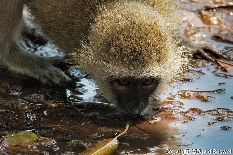 A vervet monkey drinking at Vistoria Falls Park in Zimbabwe.