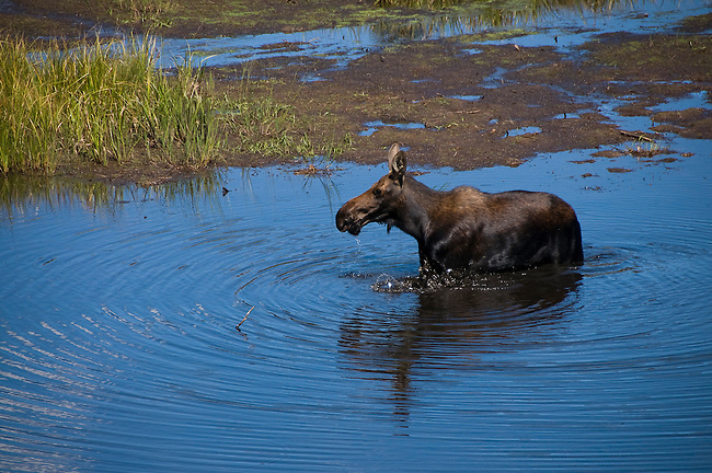moose, cow, Alces alces, pond, wildlife, water, wetland, summer, August, nature, morning, Kawuneeche Valley, Rocky Mountain National Park, Colorado, USA