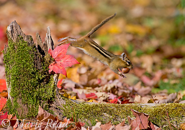 Eastern Chipmunk (Tamias striatus) makes off with an acorn in autumn, New York, USA
