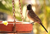 Stock image of red vented bulbul eating from a bird feeding pot in the backyard.