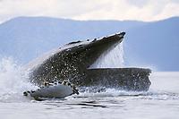 adult humpback whale, Megaptera novaeangliae, bubble net feeding, Alaska, USA, Pacific Ocean
