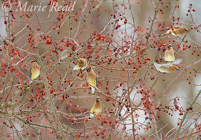 Cedar Waxwings (Bombycilla cedrorum), flock feeding on crabapples, Ithaca, New York, USA