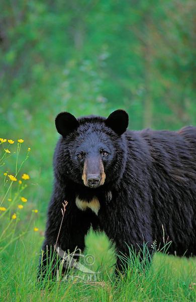 Black Bear..Summer. Near Lake Superior..(Ursus americanus).