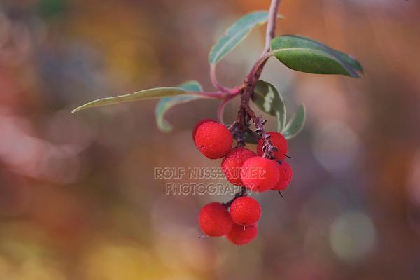 Texas Madrone, Arbutus xalapensis, berries, McKittrick Canyon, Guadalupe Mountains National Park, Texas, USA, November 2005