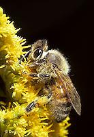1B04-024z   Honeybee pollinating goldenrod - Apis mellifera
