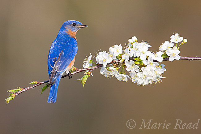 Eastern Bluebird (Sialia sialis), male percched amid cherry blossom in spring, New York, USA