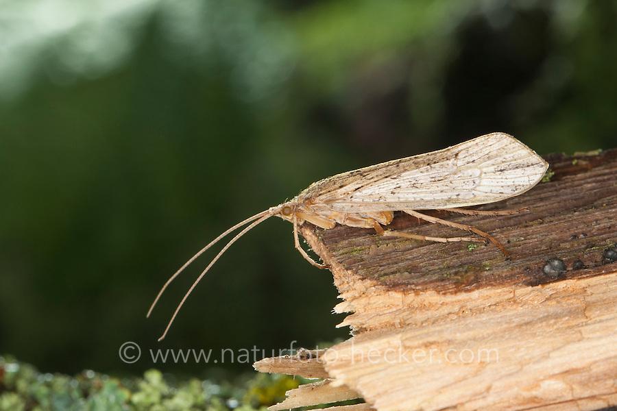 Köcherfliege, Grammotaulius nigropunctatus, Grammotaulius atomarius, , caddis fly, caddisfly, caddy, Limnephilidae