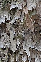 Shagbark Hickory bark, Great Smoky Mounains National Park, Tennessee