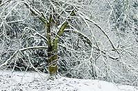 Bigleaf Maple and snow