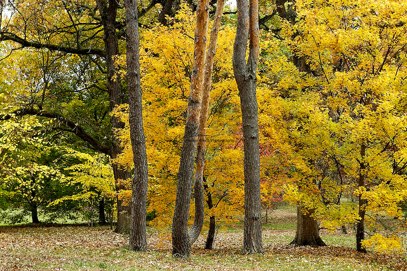 Group of fall colored evergreen trees at the Morton Arboretum in Lisle, Illinois