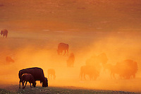Bison herd feeding in prairie dog town.  Dust catching sunrise color.  Western U.S.  August.