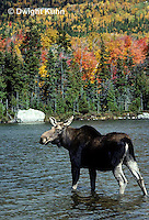 MS05-040z  Moose - cow (female) feeding at Sandy Stream Pond in Baxter State Park, Maine - Alces alces