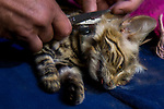 Black-footed Cat (Felis nigripes) biologist, Alex Sliwa, cutting extra material off of female's collar, Benfontein Nature Reserve, South Africa