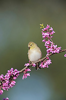 American Goldfinch (Carduelis tristis), adult on Eastern Redbud tree (Cercis canadensis), Dinero, Lake Corpus Christi, South Texas, USA