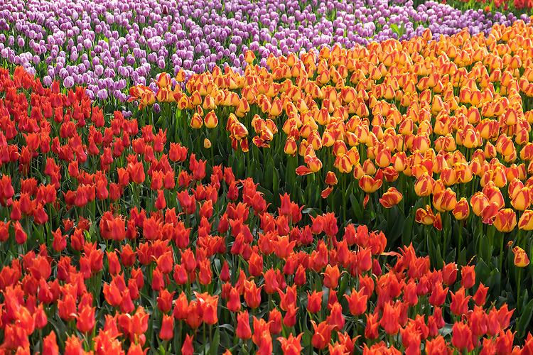 Both graphic design and colors provide the impact of blossoming tulips in a city park in Konya.