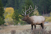 Elk, Wapiti, Cervus elaphus, bull with aspentrees with fallcolors, Rocky Mountain National Park, Colorado, USA