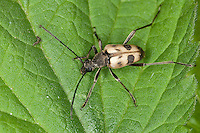 Gefleckter Blütenbock, Pachytodes cerambyciformis, Judolia cerambyciformis, Speckled Longhorn Beetle