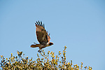 Red-Tailed Hawk near San Francisco, California, USA.  Photo copyright Lee Foster.  Photo # california108923