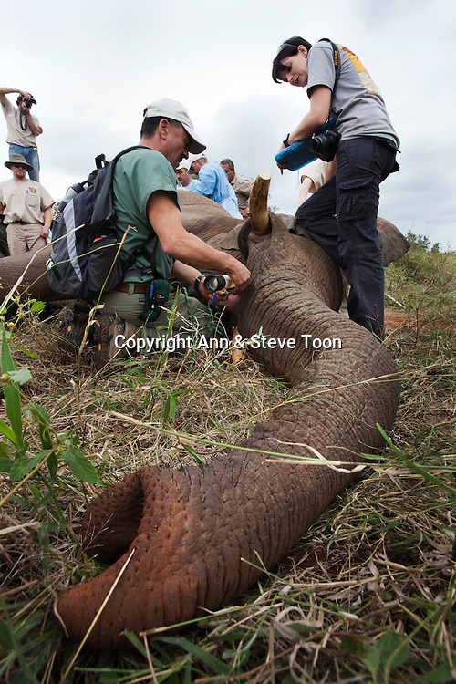 The Elephant Population Management Program surgical team finish work after performing keyhole surgery to vasectomise a wild elephant in the bush.  Private game reserve in Limpopo, South Africa. Dr Jeff Zuba, kneeling, is senior associate veterinarian of the San Diego Zoological Society and developed the anaesthetic techniques for the procedure