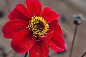 Dahlia 'Miss Alison', mid August.