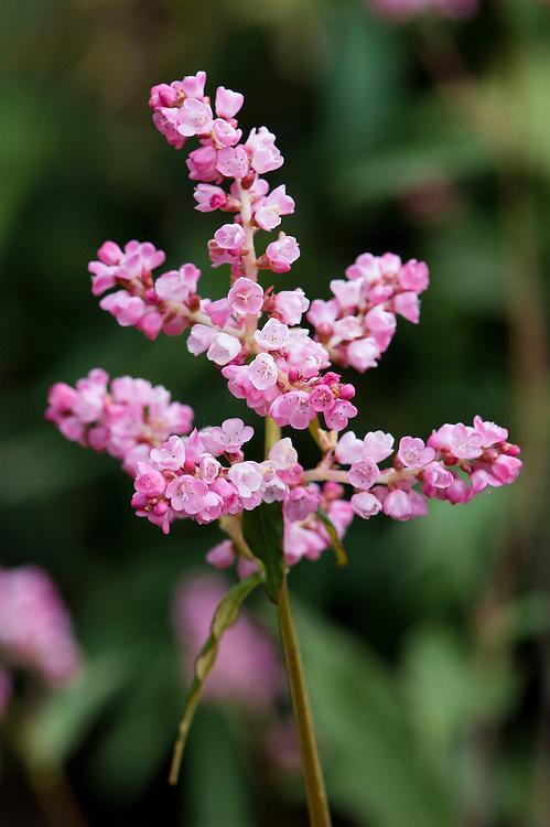Deep pink Persicaria campanulata 'Rosenrot' syn. Polygonum campanulatum, early July. Native to India, Burma and China.