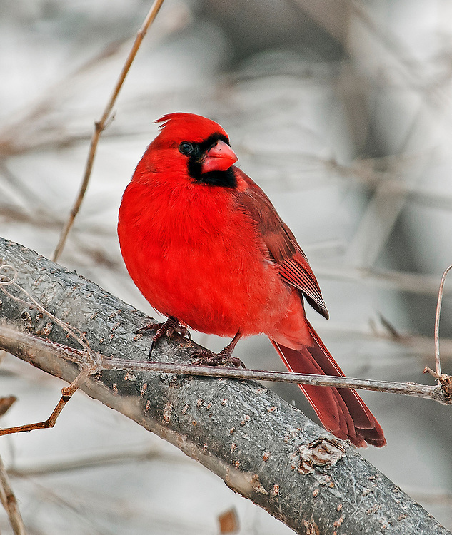 Cardinal perched on a branch on a cold winter day