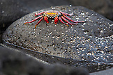 GALAPAGOS ISLANDS, ECUADOR, a sally lightfoot crab hangs out on a rock near the water on Fernandina Island