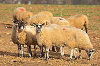 Ewes grazing sugar beet tops<br /> &copy;Tim Scrivener Photographer 07850 303986<br />      ....Covering Agriculture In The UK....