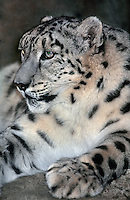 6544090081 portrait of an adult snow leopard panthera uncia - individual is a wildlife rescue - species is native to the high steppes of central asia