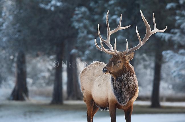 Trophy class bull elk in an early winter snow in Montana