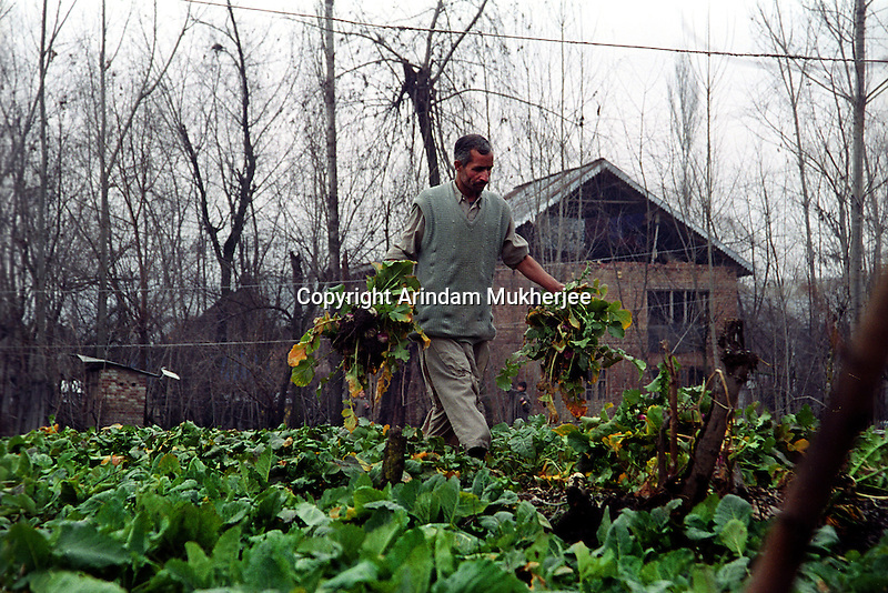 A turnip farmer works in his field at outskirts of Srinagar, Daily lifecoming to a easy flow after the decission of seize fire taken by the neighbouring countries of India and Pakistan, Kashmir valley, india.
