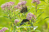 03029-01503 Spicebush Swallowtail Butterflies (Papilio troilus) male and female on Swamp Milkweed (Asclepias incarnata), Marion Co., IL