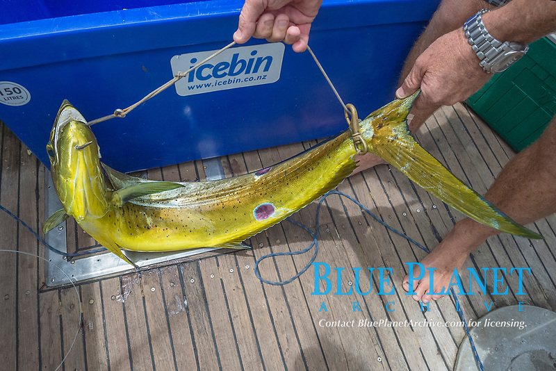 a mahimahi, dorado, or dolphinfish, Coryphaena hippurus, is controlled with a strop to prevent it from jumping around the cockpit and injuring someone, aboard charter vessel Reel Addiction, Vava'u, Kingdom of Tonga, South Pacific Ocean; note round wounds on fish from cookie cutter shark bites
