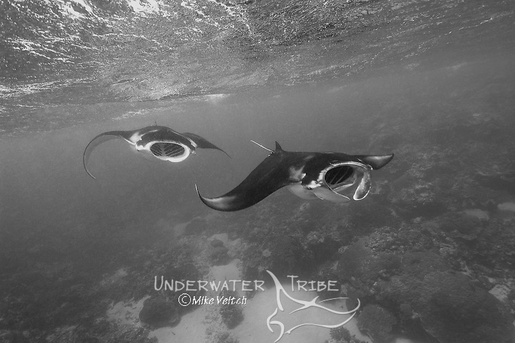 Manta rays, Manta birostris, cruise near the surface feeding on plankton, Black and White, Valley of the Rays, Goofnuw Channel, Yap, Federated States of Micronesia, Pacific Ocean