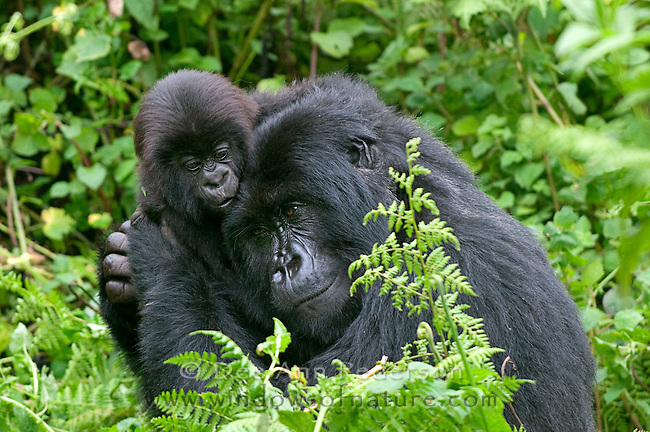 Female Mountain Gorilla caressing and nurture's her infant gorilla.