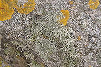 Grüngraue Astflechte, Flechte, Strauchflechte auf Küstenfelsen am Atlantik, Ramalina spec., Ramalina cf. siliquosa, sea ivory, Sea Ivory Lichen on rocks and stone walls on coastland