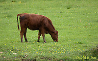 0508-0904  Cow (Cattle) Grazing in Pasture in Blue Ridge Mountains in Virginia  © David Kuhn/Dwight Kuhn Photography